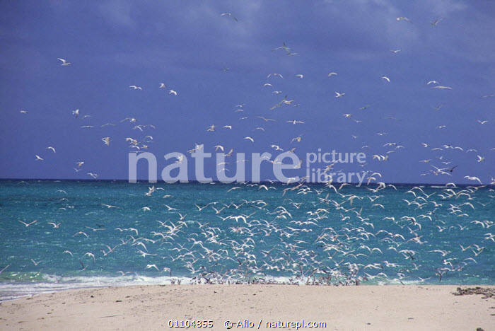 ic-09201 Flock of terns {Sterninae} on beach, Great Barrier reef, Queensland, Australia.  ,  AFLO,ANIMALS,AUSTRALIA,BEACH,BEACHES,BIRDS,BUSY,CATALOGUE,COAST,COASTS,CROWD,CROWDED,CROWDS,FLIGHT,FLOCK,FLOCKS,FLYING,GROUP,GROUPS,HORIZONTAL,IC 09201,MASS,SEA,SEABIRDS,TROPICAL  ,  Aflo