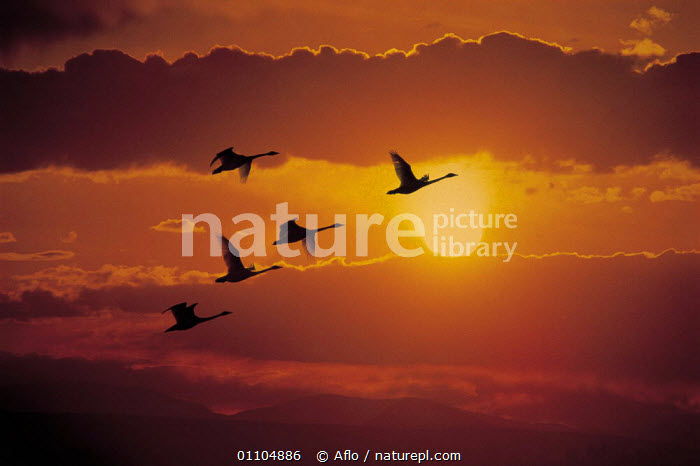 ic-09604 Five swans fly across sun at sunset.  ,  AFLO,ANIMALS,ATMOSTPHERIC,BIRD,BIRDS,CATALOGUE,CLOUDS,FIVE,FLIGHT,FLY,FLYING,GOING HOME,HORIZONTAL,IC 09604,MOODY,RETURNING,SKY,SUNSET,SWANS,WATERFOWL,WEATHER  ,  Aflo