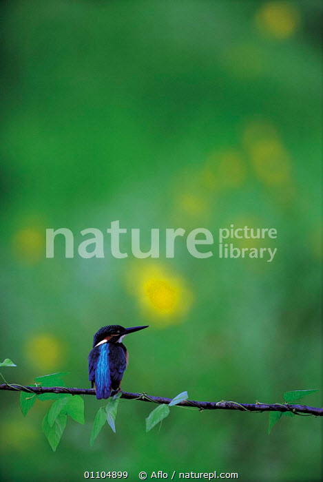 ic-09804 Common kingfisher perched {Alcedo atthis} Japan.  ,  AFLO,ANIMALS,ASIA,BIRD,BIRDS,BLUE,CATALOGUE,HORIZONTAL,IC 09804,JAPAN,KINGFISHER,ONE,PERCHED,STILL,STILLNESS,VERTICAL  ,  Aflo