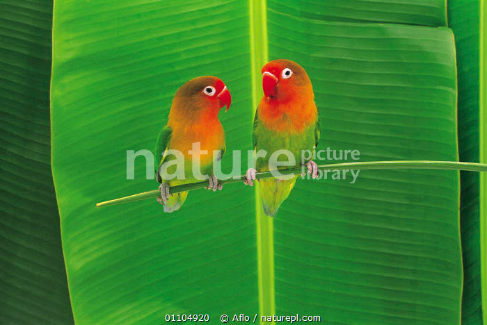 ic-14202 Pair of Lovebirds perched {Agapornis sp}  ,  AFLO,ANIMALS,ASIA,BIRD,BIRDS,CATALOGUE,COLOURFUL,COUPLE,FRIENDSHIP,HORIZONTAL,IC 14202,JAPAN,PAIR,PARROT,PARROTS,PERCHED,TWO,VERTICAL,CONCEPTS  ,  Aflo