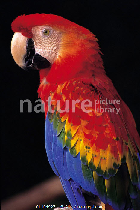 ic-10403 Scarlet macaw {Ara macao}  ,  AFLO,ANIMALS,BIRD,BIRDS,CAPTIVE,CATALOGUE,COLOURFUL,IC 10403,MACAWS,ONE,PARROT,PARROTS,PORTRAIT,PORTRAITS,RED,VERTICAL  ,  Aflo