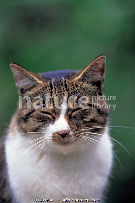 ic-00503 Contented domestic cat face portrait {Felis catus}  ,  AFLO,ANIMALS,CARNIVORES,CATALOGUE,FACE,FACES,FELINE,HEAD,HEADS,IC 00503,MAMMAL,MAMMALS,MIXED COLOUR,PET,PETS,PORTRAIT,PORTRAITS,RESTING,VERTICAL,WHISKERS,WHITE AND TABBY  ,  Aflo