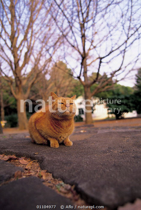 ic-01005 Ginger domestic cat sitting on path {Felis catus}  ,  AFLO,ANIMALS,CARNIVORES,CATALOGUE,GINGER,IC 01005,LEAVES,MAMMAL,MAMMALS,OUTSIDE,PARK,PARKS,PATH,PATHS,PET,PETS,SITTING,TREES,URBAN,VERTICAL,PLANTS  ,  Aflo