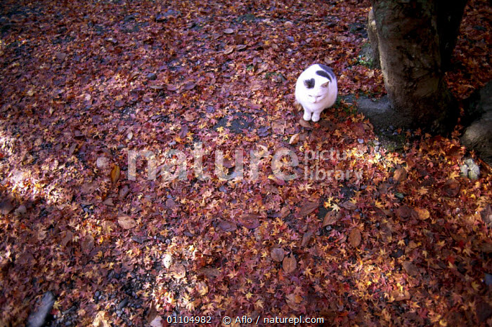 ic-01105 Bird's eye view of Domestic cat sitting on fallen leaves in Autumn {Felis catus}  ,  ACER,AFLO,ASIA,AUTUMN,CARNIVORES,CATALOGUE,FALL,FALLEN,FELINE,GROUND,HORIZONTAL,IC 01105,JAPAN,LEAVES,MAMMAL,MAMMALS,OUTSIDE,OVERHEAD,PET,PETS,PETS CATALOGUE,PLANTS,SITTING,TREES  ,  Aflo