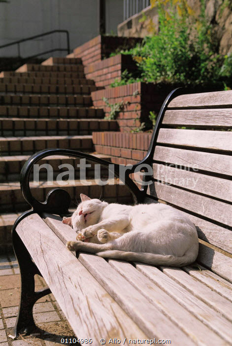 ic-01404 Domestic cat sleeping in sun on park bench {Felis catus}  ,  AFLO,ANIMALS,ASLEEP,BENCH,CARNIVORE,CARNIVORES,CATALOGUE,IC 01404,MAMMAL,MAMMALS,OUTSIDE,PARK,PET,PETS,RELAXED,RELAXING,RESTING,SLEEPING,SUN,SUNNING,VERTICAL,WARM,WHITE  ,  Aflo