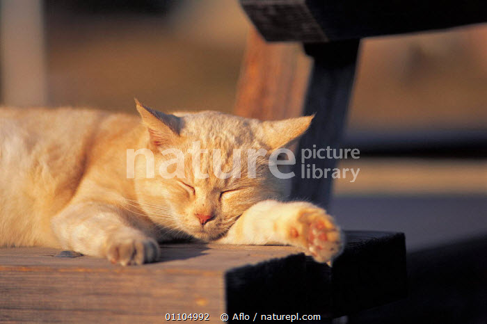 ic-01505 Domestic cat sleeping on park bench {Felis catus}  ,  AFLO,ANIMALS,ASLEEP,BENCH,CARNIVORE,CARNIVORES,CATALOGUE,CONTENT,HAPPY,HORIZONTAL,IC 01505,MAMMAL,MAMMALS,PARK,PEACEFUL,PET,PETS,RELAXED,RELAXING,RESTING,SLEEPING,CONCEPTS  ,  Aflo