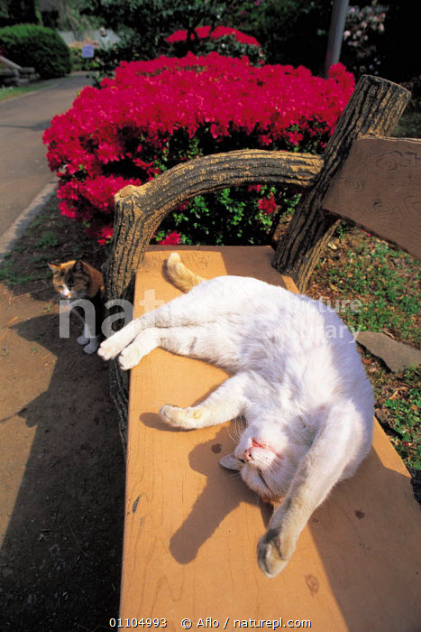 ic-01801 Domestic cat on back sleeping on park bench {Felis catus}  ,  AFLO,ANIMALS,ASLEEP,BACK,BENCH,BENCHES,CARNIVORE,CARNIVORES,CATALOGUE,CUTE,IC 01801,MAMMAL,MAMMALS,PARK,PARKS,PET,PETS,RELAXED,RELAXING,RESTING,SLEEPING,URBAN,VERTICAL,WHITE  ,  Aflo