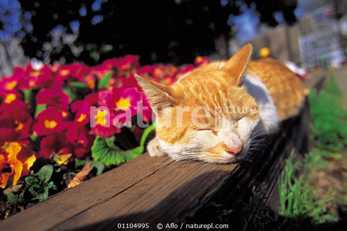 ic-01803 Domestic cat asleep on garden fence {Felis catus}  ,  AFLO,CARNIVORE,CARNIVORES,CATALOGUE,FACES,FENCE,HEADS,HORIZONTAL,IC 01803,MAMMAL,MAMMALS,PET,PETS,RELAXED,RELAXING,RESTING,SLEEPING  ,  Aflo