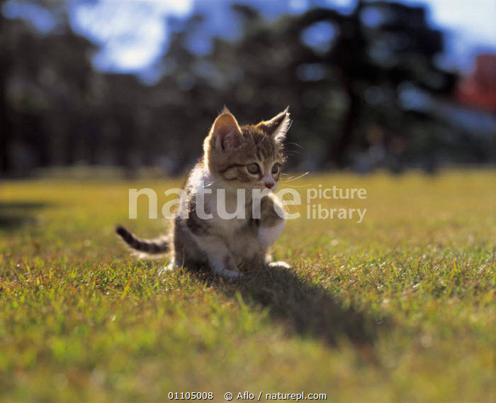 ic-02606 Young domestic kitten stalking on grass {Felis catus}  ,  AFLO,ANIMALS,BABY,CARNIVORE,CARNIVORES,CATALOGUE,CUTE,GRASS,HORIZONTAL,IC 02606,JUVENILE,KITTEN,MAMMAL,MAMMALS,PET,PETS,PLANTS,YOUNG  ,  Aflo