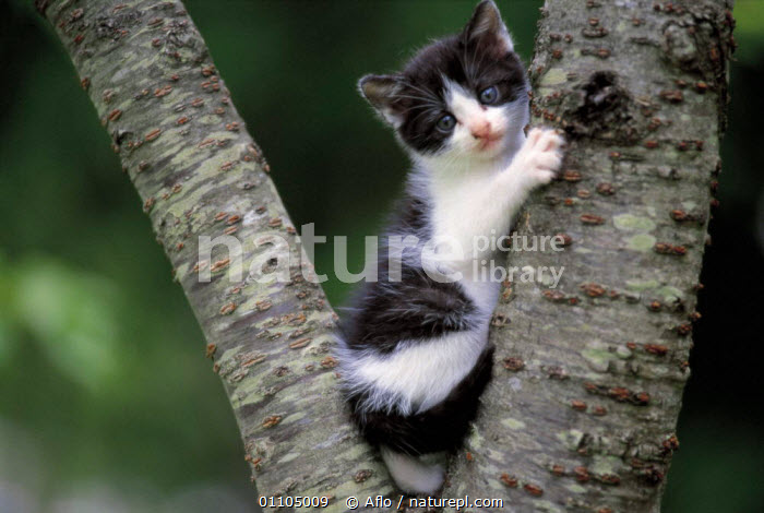ic-02701 Young domestic kitten up a tree {Felis catus}  ,  AFLO,ANIMALS,BABIES,BABY,BLACK AND WHITE,CARNIVORE,CARNIVORES,CAT,CATALOGUE,CLIMBING,CUTE,IC 02701,JUVENILE,KITTEN,MAMMAL,MAMMALS,PET,PETS,TREE,TREES,PLANTS  ,  Aflo