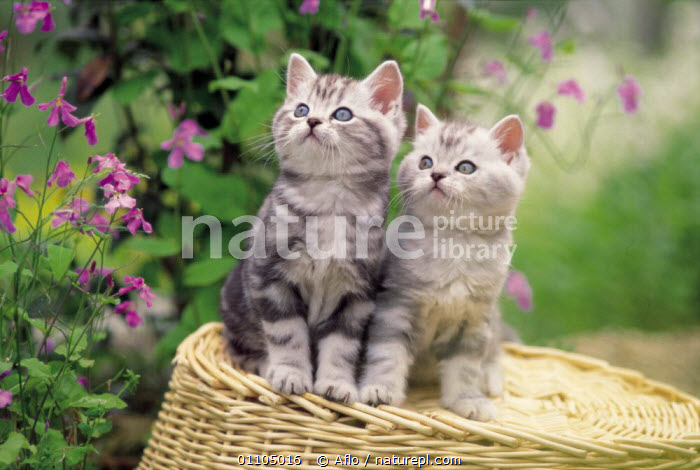 ic-02708 Two domestic kittens sitting on basket {Felis catus}  ,  ADORABLE,AFLO,ANIMALS,BABIES,BASKET,CARNIVORE,CARNIVORES,CATALOGUE,CUTE,HORIZONTAL,IC 02708,KITTENS,MAMMAL,MAMMALS,PET,PETS,SITTING,SWEET,TWO,YOUNG  ,  Aflo