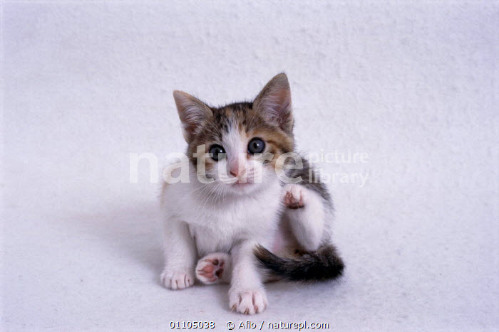 ic-03008 Young domestic kitten scratching {Felis catus}  ,  AFLO,ANIMALS,CARNIVORE,CARNIVORES,CATALOGUE,CUT OUT,CUTE,CUTOUT,HORIZONTAL,IC 03008,INDOORS,JUVENILE,KITTEN,KITTENS,MAMMAL,MAMMALS,PET,PETS,SCRATCHING,SMALL,STUDIO,TINY,YOUNG  ,  Aflo