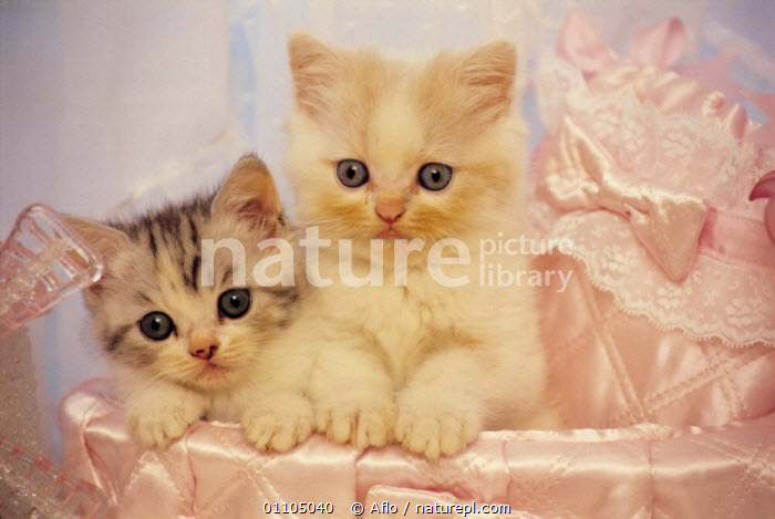 ic-030010 Two young domestic kittens in bedding {Felis catus}  ,  ADORABLE,AFLO,ANIMALS,BED,CARNIVORE,CARNIVORES,CATALOGUE,CUTE,FACES,HORIZONTAL,IC 030010,INDOORS,JUVENILE,KITTEN,KITTENS,MAMMAL,MAMMALS,PET,PETS,SMALL,SWEET,TINY,TWO,YOUNG  ,  Aflo