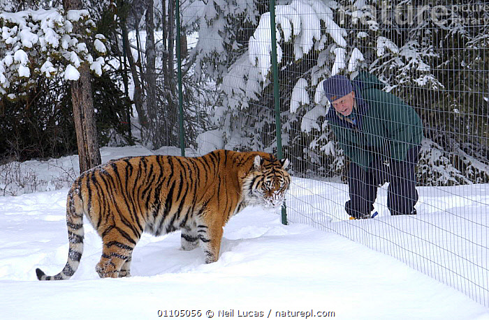 Sir David Attenborough with captive Siberian tiger during filming for 'Life of Mammals', 2002. Montana, USA  ,  2002,BBC,BIG CATS,CAPTIVE,CAT,COLD,D,FENCE,LOCATION,MAMMALS,NHU,NL,NORTH AMERICA,PEOPLE,SNOW,THE LIFE OF MAMMALS,USA,WINTER  ,  Neil Lucas