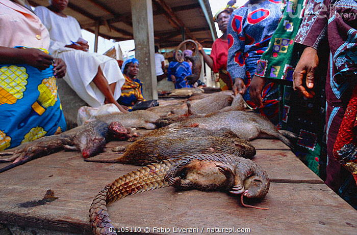 Bush meat -- dead wild animals for sale on market stall, Epe, Lagos, Nigeria, West Africa. 2002, AFRICA,BUSHMEAT,FL,FOOD,HORIZONTAL,MAMMAL,MAMMALS,MARKET,PANGOLIN,PEOPLE,STALL,TRADE,TRADING,WEST AFRICA,WEST-AFRICA, Fabio Liverani