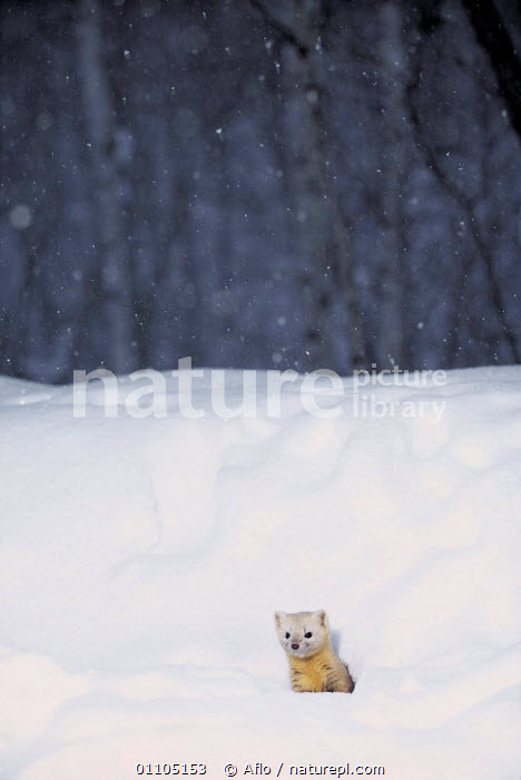 ic-07801 Japanese weasel coming out of hole in snow {Mustela itatsi} Japan.  ,  AFLO,ANIMALS,ASIA,CARNIVORE,CARNIVORES,CATALOGUE,COLD,IC 07801,JAPAN,MAMMAL,MAMMALS,MUSTELIDS,SNOW,SNOWING,VERTICAL,WHITE,WINTER  ,  Aflo