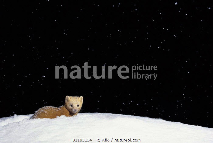 ic-07802 Japanese weasel in snow {Mustela itatsi} Japan.  ,  AFLO,ANIMALS,ASIA,CARNIVORE,CARNIVORES,CATALOGUE,COLD,HORIZONTAL,IC 07802,JAPAN,MAMMAL,MAMMALS,NIGHT,SNOW,SNOWING,VERTICAL,WEASEL,WHITE,WINTER,MUSTELIDS  ,  Aflo