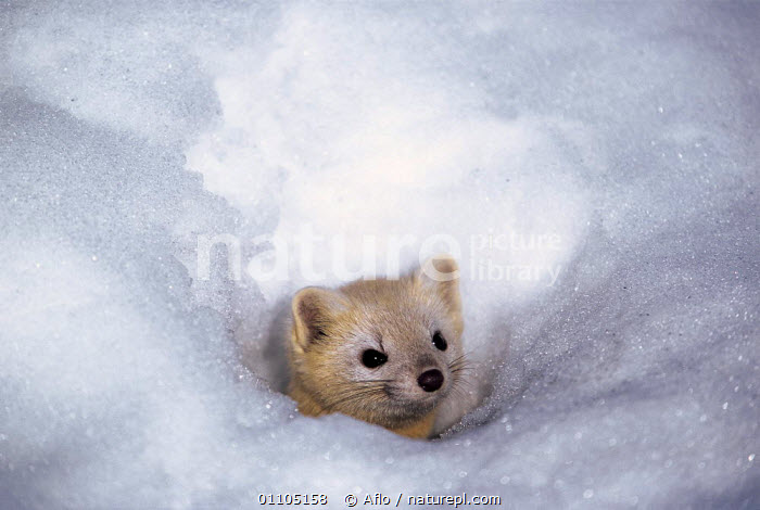 ic-07804 Japanese weasel peeping out of tunnel in snow {Mustela itatsi} Japan.  ,  AFLO,ANIMALS,ASIA,CAMOUFLAGE,CARNIVORE,CARNIVORES,CATALOGUE,COLD,CUTE,HORIZONTAL,IC 07804,JAPAN,MAMMAL,MAMMALS,SNOW,VERTICAL,WHITE,WINTER,MUSTELIDS  ,  Aflo