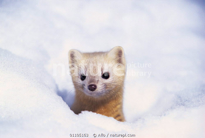 ic-07902 Japanese weasel peeping out of hole in snow {Mustela itatsi} Japan.  ,  AFLO,ANIMALS,ASIA,CAMOUFLAGE,CARNIVORE,CARNIVORES,CATALOGUE,COLD,CUTE,HORIZONTAL,IC 07902,JAPAN,MAMMAL,MAMMALS,SNOW,VERTICAL,WHITE,WINTER,MUSTELIDS  ,  Aflo
