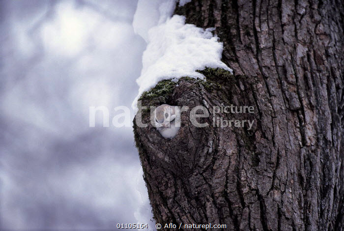ic-07905 Small japanese flying squirrel peeping out of hole in tree trunk {Pteromys momonga} Japan.  ,  AFLO,ASIA,CATALOGUE,CUTE,HOLE,HOMES,IC 07905,JAPAN,MAMMAL,MAMMALS,RODENT,RODENTS,SQUIRREL,TREE,TREES,TRUNK,TRUNKS,TUNNEL,VERTICAL,WATCHING,WEASEL,WHITE,WINTER,PLANTS  ,  Aflo