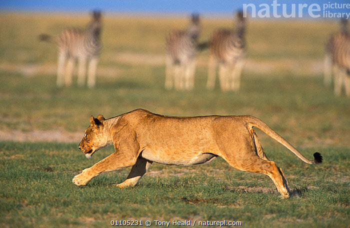 RF- Lioness (Panthera leo) running with Zebra in background. Etosha National Park, Namibia. (This image may be licensed either as rights managed or royalty free.)  ,  ACTION,AFRICA,BIG-CATS,HORIZONTAL,LIONS,MAMMALS,NP,RUNNING,CARNIVORES,FEMALES,VERTEBRATES,PANTHERA LEO,Animal,Vertebrate,Mammal,Carnivore,Cat,Big cat,Lion,Animalia,Animal,Wildlife,Vertebrate,Mammalia,Mammal,Carnivora,Carnivore,Felidae,Cat,Panthera,Big cat,Panthera leo,Prowling,Running,Danger,Direction,Stealth,Threatening,Group,Medium Group,Nobody,Worried,Africa,Southern Africa,Namibia,South-West Africa,Profile,Side View,Camera Focus,Selective Focus,Focus On Foreground,Female animal,Lioness,Lionesses,Plain,Plains,Outdoors,Nature,Wild,Animal Behaviour,Reserve,Lion,Mixed species,Behaviour,Protected area,National Park,Shallow depth of field,Low depth of field,Namibian,Five animals,Bystander,Purpose,Etosha National Park,RF,Royalty free,RFCAT1,RF17Q1,  ,  Tony Heald