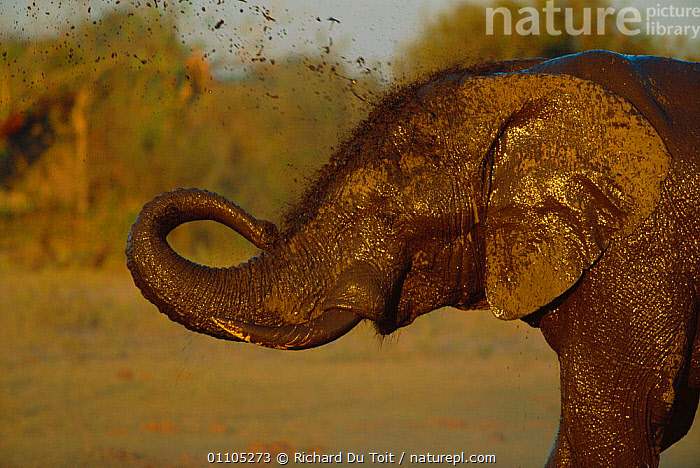 African elephant sprays itself with muddy water {Loxodonta africana} Linyanti, Botswana, Southern Africa  ,  AFRICA,BATHING,BEHAVIOUR,BOTSWANA,FUNNY,HORIZONTAL,HUMOROUS,HUMOUROUS,MAMMAL,MAMMALS,MUDDY,NP,PROBOSCID,PROBOSCIDS,RESERVE,SOUTHERN AFRICA,TRUNK,WATER,WET,CONCEPTS,NATIONAL PARK,ELEPHANTS  ,  Richard Du Toit