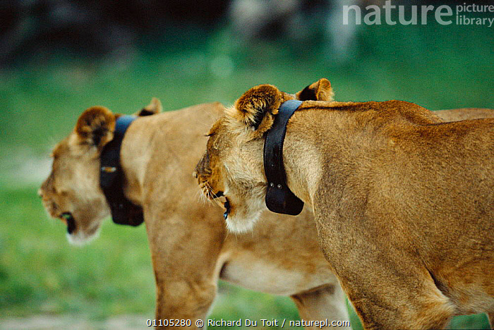 Two Lionesses fitted with radio tracking collars {Panthera leo} Chobe NP, Botswana, 35,AFRICA,BIG CATS,BOTSWANA,CARNIVORE,CARNIVORES,CHOBE,COLLAR,COLLARS,DU,HORIZONTAL,LIONESS,LIONESSES,LIONS,MAMMAL,MAMMALS,NATIONAL PARK,NP,RADIO,RDT,RESEARCH,RESERVE,RICHARD,SOUTHERN AFRICA,TAGGING,TOIT,TWO, Richard Du Toit