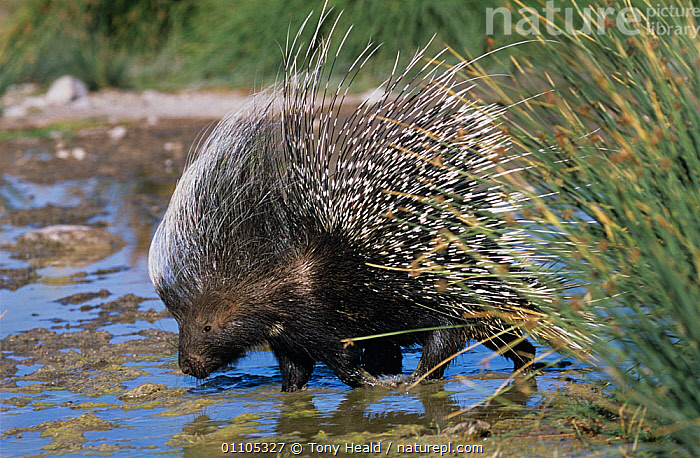 Porcupine {Hystrix africaeaustralis} drinking, Damaraland, Namibia  ,  AFRICA,DRINKING,MAMMALS,PORCUPINES,PORTRAITS,rodents,SPINES,VERTEBRATES,WATER  ,  Tony Heald