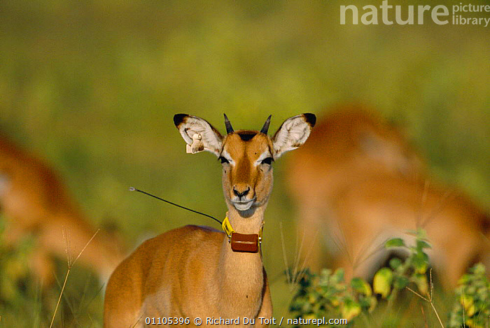 Nature Picture Library - Impala with radio tracking collar