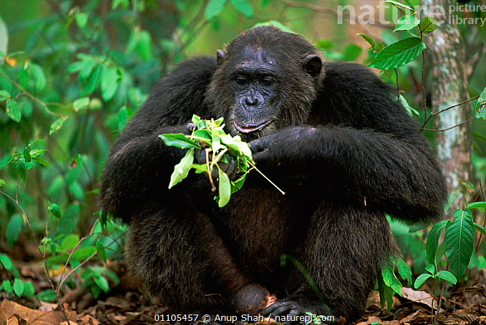 Alpha male Chimpanzee 'Frodo', 26-years-old, feeding on leaves {Pan troglodytes schweinfurtheii} Kasekela community, Gombe NP, Tanzania. 2002. Chimps have learnt that certain leaves can be used to treat bacterial infections and they use the same herbal remedies as traditional people to cure parasitic infestations and stomach pains.  ,  AFRICA,AFRICAN,AS,CHIMP,CHIMPANZEES,CHIMPS,COMMUNITY,EAST AFRICA,EAST AFRICA,EATING,ENJOYING,ENJOYMENT,FEEDING,FOREST,GOMBE,HEALTHY,HORIZONTAL,MALE,MALES,MAMMAL,MAMMALS,NP,OUTSTANDING,PORTRAIT,PORTRAITS,PRIMATE,PRIMATES,RAINFOREST,RESERVE,SITTING,STORY,TANZANIA,TROPICAL,WILDLIFE,NATIONAL PARK,GREAT APES  ,  Anup Shah