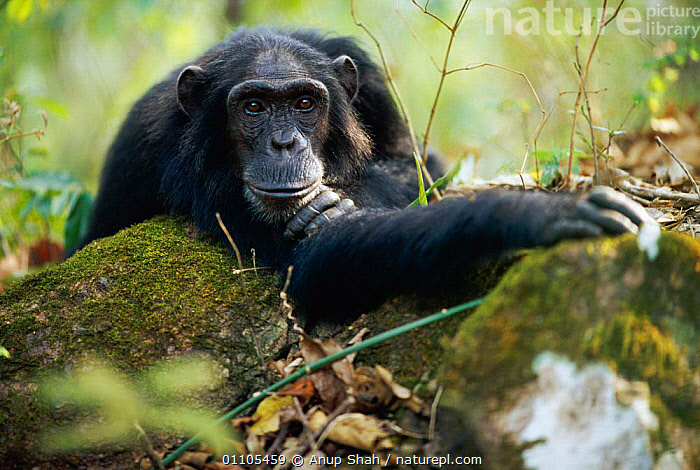 Male Chimpanzee resting on rock 'Pax' {Pan troglodytes schweinfurtheii}, 25-years-old, lowest ranking male of Kasekela community, Gombe NP, Tanzania. 2002, AFRICA,AS,CHIMP,CHIMPANZEES,CHIMPS,COMMUNITY,EAST AFRICA,EAST AFRICA,FOREST,GOMBE,HORIZONTAL,KASEKELA,LOWEST,MALE,MALES,MAMMAL,MAMMALS,NP,PORTRAIT,PORTRAITS,PRIMATE,PRIMATES,RAINFOREST,RESERVE,RESTING,STORY,TANZANIA,TROPICAL,TROPICAL RAINFOREST,TROPICAL RAINFOREST,NATIONAL PARK,GREAT APES, Anup Shah