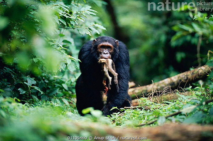 Male Chimpanzee 'Sheldon' knuckle walking carrying dead Red colobus monkey in jaws {Pan troglodytes schweinfurtheii}, 19-years-old, high ranking male of Kasekela community, Gombe NP, Tanzania. 2002, AFRICA,AS,CARNIVOROUS,CHIMP,CHIMPANZEES,CHIMPS,COMMUNITY,EAST AFRICA,EAST AFRICA,EATING,FEEDING,FOOD,FOREST,GOMBE,HORIZONTAL,JAWS,MALE,MALES,MAMMAL,MAMMALS,MEAT,MONKEY,NP,PREDATION,PRIMATE,PRIMATES,RAINFOREST,RESERVE,STORY,TANZANIA,TROPICAL,TROPICAL RAINFOREST,TROPICAL RAINFOREST,VERTICAL,WALKING,BEHAVIOUR,NATIONAL PARK,GREAT APES, Anup Shah