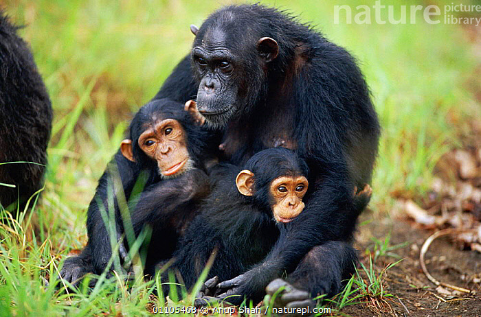 Female Chimpanzee 'Fanni' with offspring 'Fundi' (male, 17-months-old) and Fudge (male, 4-years-10-months-old) {Pan troglodytes schweinfurtheii}, Kasekela community, Gombe NP, Tanzania. 2002  ,  AFFECTION,AFFECTIONATE,AFRICA,AS,BABIES,BABY,BEHAVIOUR,BROTHER,CHILDREN,CHIMP,CHIMPANZEES,CHIMPS,COMMUNITY,CUDDLE,CUDDLING,EAST AFRICA,EAST AFRICA,FAMILIES,FAMILY,FEMALE,GOMBE,GOOD,HORIZONTAL,MAMMAL,MAMMALS,MATERNAL,MOTHER,MOTHERING,NP,OFFSPRING,PARENTAL,PARENTING,PRIMATE,PRIMATES,PROTECTION,PROTECTIVE,RAINFOREST,RESERVE,SISTER,STORY,TANZANIA,THREE,TROPICAL,TROPICAL RAINFOREST,CONCEPTS,NATIONAL PARK,GREAT APES  ,  Anup Shah