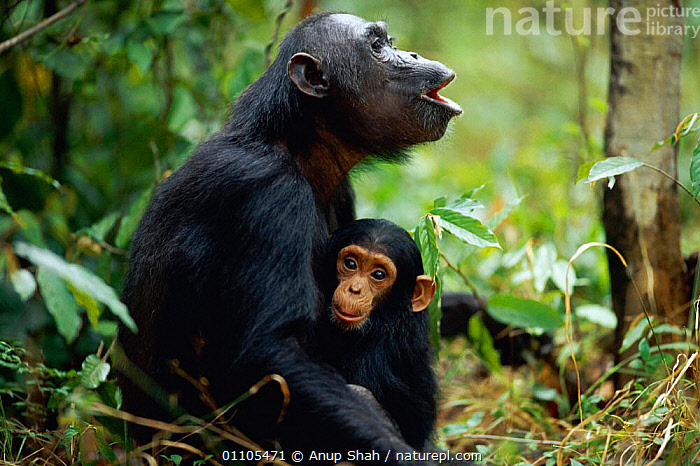 Two-year-old male 'Fundi' holds on to mother 'Fanni' who is calling in answer to group call {Pan troglodytes schweinfurtheii}, Kasekela community, Gombe NP, Tanzania. 2002  ,  AFRICA,ANSWER,BABIES,BABY,BEHAVIOUR,CALL,CALLING,CHIMP,CHIMPANZEES,CHIMPS,COMMUNICATION,COMMUNITY,EAST AFRICA,FAMILIES,FAMILY,FEMALE,FEMALES,GREAT APES,GROUP,HORIZONTAL,MAMMAL,MAMMALS,MATERNAL,MOTHER,NATIONAL PARK,NP,PARENTAL,PARENTING,PRIMATE,PRIMATES,PROTECTION,PROTECTIVE,RAINFOREST,RESERVE,SOCIETY,STORY,TANZANIA,TROPICAL,TROPICAL RAINFOREST,VOCALISATION,WILDLIFE  ,  Anup Shah
