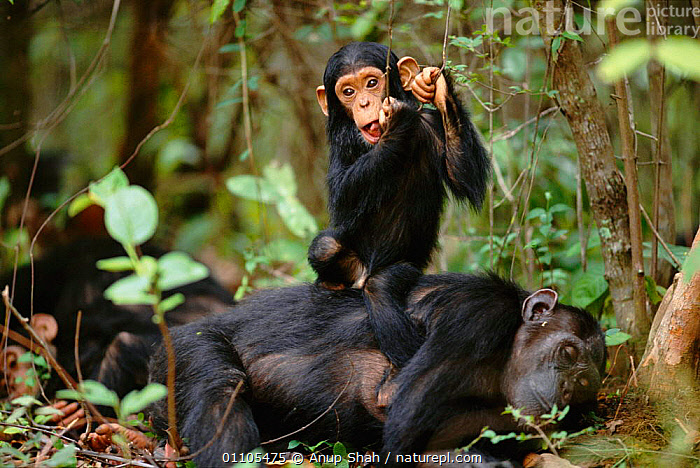 Fundi plays beside his resting mother 'Fanni' {Pan troglodytes schweinfurtheii}, Kasekela community, Gombe NP, Tanzania. 2002  ,  AFRICA,AS,BABIES,BABY,BEHAVIOUR,CHIMP,CHIMPANZEES,CHIMPS,COMMUNITY,EAST AFRICA,EAST AFRICA,FAMILIES,FAMILY,FEMALE,FEMALES,GOMBE,HORIZONTAL,MALE,MAMMAL,MAMMALS,MOTHER,NP,PLAY,PLAYING,PLAYS,PRIMATE,PRIMATES,RAINFOREST,RESERVE,RESTING,STORY,TANZANIA,TROPICAL,TROPICAL RAINFOREST,TROPICAL RAINFOREST,COMMUNICATION,NATIONAL PARK,GREAT APES  ,  Anup Shah