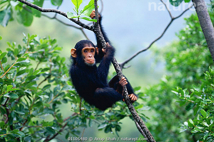 Female Chimpanzee 'Flirt' (daughter of Fifi) 2-years-7-months-old playing in tree {Pan troglodytes schweinfurtheii} Kasekela community, Gombe NP, Tanzania. 2002, AFRICA,AS,CHIMP,CHIMPS,CLIMBING,CUTE,EAST AFRICA,EAST AFRICA,FEMALES,GOMBE,HORIZONTAL,JUVENILE,MAMMAL,MAMMALS,NP,PLAY,PLAYFUL,PLAYING,PRIMATE,PRIMATES,RAINFOREST,RESERVE,STORY,TANZANIA,TREES,TROPICAL,TROPICAL RAINFOREST,VERTICAL,YOUNG,PLANTS,COMMUNICATION,NATIONAL PARK,GREAT APES, Anup Shah