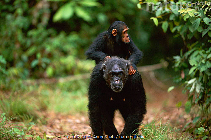 Female Chimpanzee 'Fifi' (43-years-old) carries jockey-riding 'Flirt' (3-years-3-months-old) on her back {Pan troglodytes schweinfurtheii} Kasekela community, Gombe NP, Tanzania. 2002  ,  AFRICA,AS,BABIES,BABY,BACK,CARRYING,CHIMP,CHIMPS,COMMUNITY,EAST AFRICA,EAST AFRICA,FAMILIES,FAMILY,FEMALE,FEMALES,GOMBE,HORIZONTAL,JUVENILE,MAMMAL,MAMMALS,MATERNAL,MOTHER,MOTHERING,NP,PARENTAL,PRIMATE,PRIMATES,RAINFOREST,RESERVE,RIDING,SHAH,STORY,TANZANIA,TROPICAL,TROPICAL RAINFOREST,TWO,NATIONAL PARK,GREAT APES  ,  Anup Shah