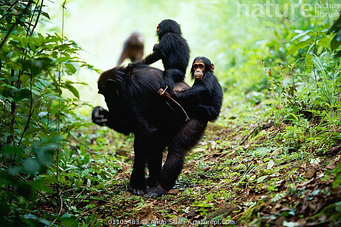 Female Chimpanzee 'Gremlin' carries female twins  'Golden' and 'Glitta' {Pan troglodytes schweinfurtheii} Kasekela community, Gombe NP, Tanzania. 2002  ,  AFRICA,AS,BABIES,BABY,BEHAVIOUR,CARE,CARING,CARRYING,CHIMP,CHIMPS,COMMUNITY,EAST AFRICA,FAMILIES,FAMILY,FEMALE,FEMALES,GOMBE,HORIZONTAL,JOCKEY RIDING,MAMMAL,MAMMALS,MATERNAL,MOTHER,NP,PARENTAL,PRIMATE,PRIMATES,RAINFOREST,RESERVE,RIDING,STORY,TANZANIA,TROPICAL,TROPICAL RAINFOREST,TROPICAL RAINFOREST,TWIN,NATIONAL PARK,GREAT APES,Catalogue1  ,  Anup Shah