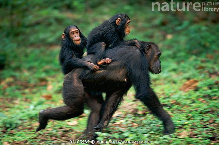 Chimpanzee mother 'Gremlin' carries female twins 'Golden' (in front) and 'Glitta' (behind) {Pan troglodytes schweinfurtheii} Kasekela community, Gombe NP, Tanzania. 2002  ,  ACTION,AFRICA,AS,BABIES,BABY,BEHAVIOUR,CARE,CARING,CARRYING,CHIMP,CHIMPS,COMMUNITY,EAST AFRICA,EAST AFRICA,FAMILIES,FAMILY,FEMALE,FEMALES,GOMBE,HORIZONTAL,JOCKEY RIDING,KNUCKLE,KNUCKLE WALKING,MAMMAL,MAMMALS,MATERNAL,NP,PARENTAL,PRIMATE,PRIMATES,RAINFOREST,RESERVE,RIDING,STORY,TANZANIA,THREE,TROPICAL,TROPICAL RAINFOREST,TWIN,WALKING,NATIONAL PARK,GREAT APES  ,  Anup Shah