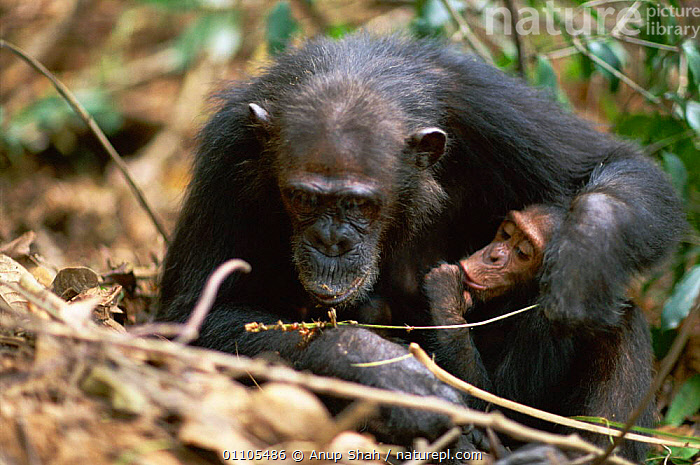 Female Chimpanzee 'Gremlin' demonstrates to offspring how to use a stem as a tool to remove termites from a termite mound {Pan troglodytes schweinfurtheii} Kasekela community, Gombe NP, Tanzania. 2002, AFRICA,ANIMAL,AS,BABIES,BABY,BEHAVIOUR,CHIMP,CHIMPANZEES,CHIMPS,COMMUNITY,EAST AFRICA,EAST AFRICA,EDUCATION,FAMILIES,FAMILY,FEEDING,FEMALE,FEMALES,FISHING,GOMBE,HORIZONTAL,INTELLIGENCE,LEARNING,MAMMAL,MAMMALS,NP,PARENT,PARENTAL,PRIMATE,PRIMATES,RAINFOREST,RESERVE,STORY,TANZANIA,TEACHING,TOOL,TOOL USING,TOOLS,TOOL USING,TROPICAL,TROPICAL RAINFOREST,NATIONAL PARK,GREAT APES, Anup Shah