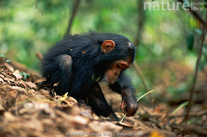 Female juvenile Chimpanzee 'Golden' has learnt from her mother how to use a stem as a tool to remove termites from a termite mound {Pan troglodytes schweinfurtheii} Kasekela community, Gombe NP, Tanzania. 2002, AFRICA,ANIMAL,AS,BABIES,BABY,BEHAVIOUR,CHIMP,CHIMPS,EAST AFRICA,EDUCATION,FEEDING,FEMALE,FEMALES,FISHING,GOMBE,GREAT APES,HORIZONTAL,INTELLIGENCE,JUVENILE,LEARNING,MAMMAL,MAMMALS,NATIONAL PARK,NP,PREDATION,PRIMATE,PRIMATES,RAINFOREST,RESERVE,STEM,STORY,TANZANIA,TERMITE,TERMITES,TOOL,TOOL USING,TOOLS,TROPICAL,TROPICAL RAINFOREST,USE, Anup Shah