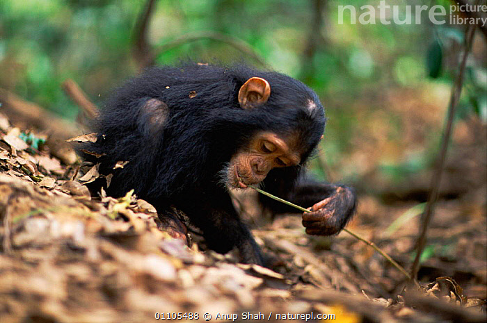 Young female Chimpanzee 'Golden' has learnt from her mother how to use a stem as a tool to remove termites from a termite mound {Pan troglodytes schweinfurtheii} Kasekela community, Gombe NP, Tanzania. 2002, AFRICA,ANIMAL,AS,BABIES,BABY,BEHAVIOUR,CHIMP,CHIMPS,COMMUNITY,EAST AFRICA,EDUCATION,FEEDING,FEMALE,FEMALES,GOMBE,HORIZONTAL,INTELLIGENCE,JUVENILE,KASEKELA,LEARNING,MAMMAL,MAMMALS,MOUND,NP,PREDATION,PRIMATE,PRIMATES,RAINFOREST,REMOVE,RESERVE,STEM,STORY,TANZANIA,TERMITE,TERMITES,TOOL USING,TOOLS,TOOL USING,TROPICAL,TROPICAL RAINFOREST,NATIONAL PARK,GREAT APES, Anup Shah