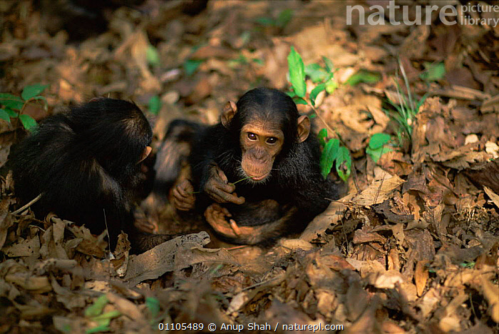 Female Chimpanzee twins 'Golden' and 'Glitta' have learnt from their mother to use stem as a tool to remove termites from a termite mound {Pan troglodytes schweinfurtheii} Kasekela community, Gombe NP, Tanzania. 2002  ,  2002,AFRICA,ANIMAL,AS,BABIES,BABY,BEHAVIOUR,CHIMP,CHIMPS,COMMUNITY,EAST AFRICA,FEEDING,FEMALE,FEMALES,GOMBE,HORIZONTAL,INTELLIGENCE,JUVENILE,KASEKELA,LEARNING,MAMMAL,MAMMALS,NP,PREDATION,PRIMATE,PRIMATES,RAINFOREST,RESERVE,STORY,TANZANIA,TERMITES,TOOL USING,TOOLS,TOOL USING,TROPICAL,TROPICAL RAINFOREST,TWINS,NATIONAL PARK,GREAT APES  ,  Anup Shah