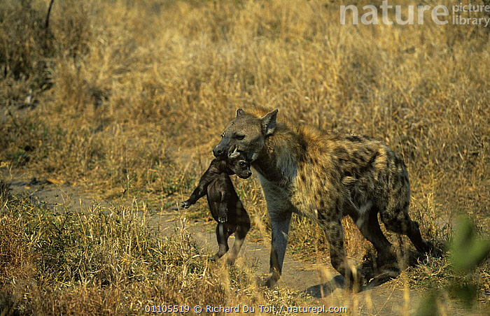 Spotted hyaena (Crocuta crocuta) female carrying pup in mouth, Sabi-sands GR, South Africa  ,  AFRICA,BABIES,BEHAVIOUR,CARNIVORES,CARRYING,HYAENAS,MAMMALS,MOTHER BABY,RESERVE,SOUTH AFRICA,SOUTHERN AFRICA,VERTEBRATES  ,  Richard Du Toit