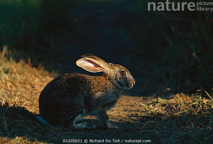 Cape hare {Lepus capensis} Phinda GR, South Africa  ,  AFRICA,GR,HORIZONTAL,LAGOMORPHS,MAMMAL,MAMMALS,NP,ONE,RDT,RESERVE,SOUTHERN AFRICA,NATIONAL PARK,HARES  ,  Richard Du Toit