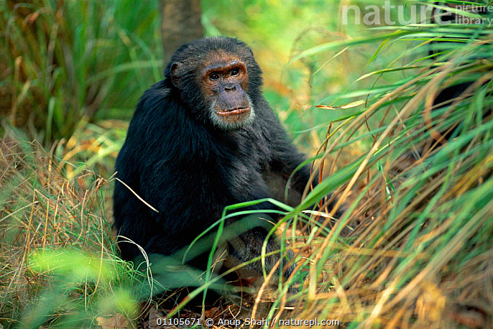 Male Chimpanzee 'Beethoven' 32-years-old, {Pan troglodytes schweinfurtheii} Gombe NP, Tanzania. 2002  ,  2002,AFRICA,AS,CHIMP,CHIMPANZEES,CHIMPS,EAST AFRICA,EAST AFRICA,ENDANGERED,FOREST,GOMBE,HORIZONTAL,MALES,MAMMAL,MAMMALS,NP,ONE,PORTRAIT,PORTRAITS,PRIMATE,PRIMATES,RESERVE,STORY,TANZANIA,TROPICAL RAINFOREST,TROPICAL RAINFOREST,VERTICAL,NATIONAL PARK,GREAT APES  ,  Anup Shah