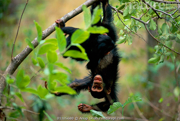 Young Chimpanzee hanging upside down in tree {Pan troglodytes schweinfurtheii} Gombe NP, Tanzania. 2002  ,  AFRICA,ANUP,ARBOREAL,AS,ATHLETIC,CHIMP,CHIMPANZEES,CHIMPS,CUTE,EAST AFRICA,EAST AFRICA,ENDANGERED,ENERGETIC,GOMBE,HORIZONTAL,MAMMAL,MAMMALS,NP,PLAY,PLAYING,PRIMATE,PRIMATES,RESERVE,SHAH,STORY,TANZANIA,TREE,TROPICAL RAINFOREST,TROPICAL RAINFOREST,VERTICAL,COMMUNICATION,NATIONAL PARK,GREAT APES  ,  Anup Shah