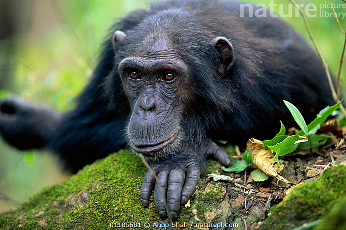 Male Chimpanzee 'Paxo' 24-years-old, {Pan troglodytes schweinfurtheii} Gombe NP, Tanzania. 2002, AFRICA,ANUP,AS,CHIMP,CHIMPANZEES,CHIMPS,EAST AFRICA,EAST AFRICA,ENDANGERED,FACES,GOMBE,HORIZONTAL,MALE,MALES,MAMMAL,MAMMALS,NP,ONE,PORTRAIT,PORTRAITS,PRIMATE,PRIMATES,RESERVE,STORY,TANZANIA,THINKING,THOUGHTFUL,TROPICAL RAINFOREST,TROPICAL RAINFOREST,NATIONAL PARK,GREAT APES, Anup Shah