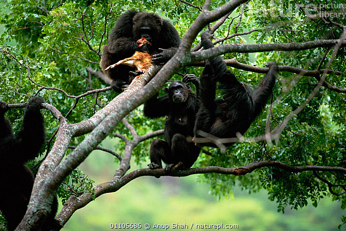 Chimpanzees gather round alpha male 'Frodo' in tree feeding on dead Bushbuck fawn {Pan troglodytes schweinfurtheii} Gombe NP, Tanzania. 2002, AFRICA,AS,BEHAVIOUR,CHIMP,CHIMPANZEES,CHIMPS,DOMINANCE,DOMINANT,EAST AFRICA,EAST AFRICA,EATING,ENDANGERED,FAMILIES,FAMILY,FEEDING,FOREST,GOMBE,GROUP,GROUPS,HIERARCHY,HORIZONTAL,MALE,MAMMAL,MAMMALS,MEAT,NP,PREDATION,PRIMATE,PRIMATES,RESERVE,SHAH,SOCIAL,STORY,TANZANIA,TREE,TROPICAL RAINFOREST,TROPICAL RAINFOREST,NATIONAL PARK,GREAT APES,Hierarchy,Hierarchical,,Nature reclamation, Anup Shah