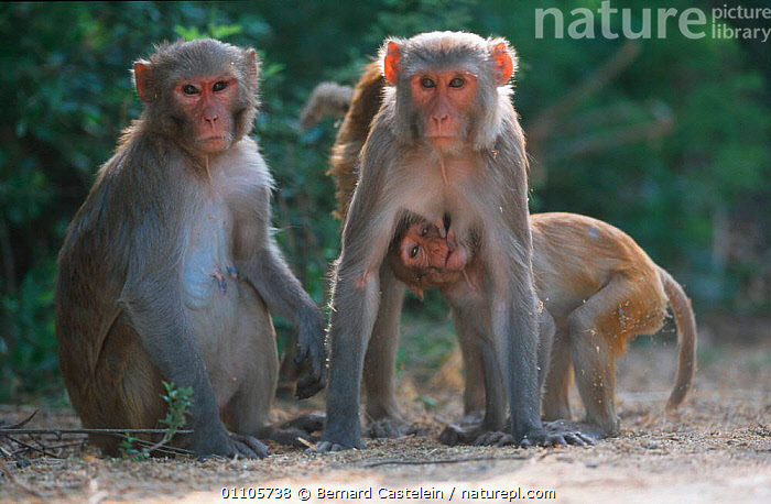 Rhesus macaque family group {Macaca mulatta} Keoladeo Ghana NP, Rajasthan, India  ,  BC,FEMALES,GHANA,GROUPS,INDIA,INDIAN SUBCONTINENT,MALES,MAMMALS,MONKEYS,NP,PRIMATES,SUCKLING,YOUNG,ASIA,NATIONAL PARK,,UNESCO World Heritage Site,  ,  Bernard Castelein